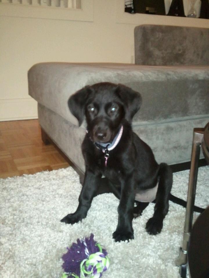 golden retriever amp mastiff mix my pup riley