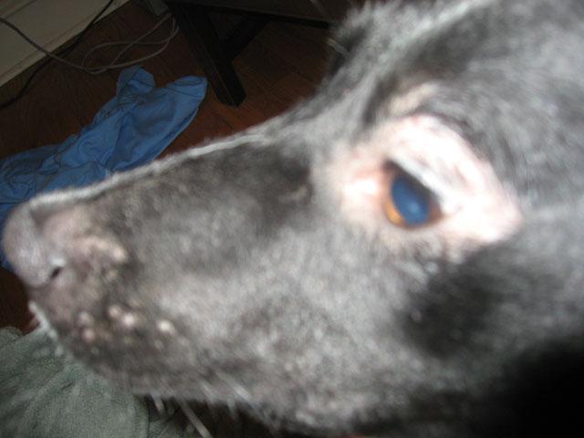 Hair Loss Around Dog S Eyes Rupert Left Jpg