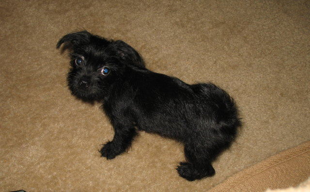 13 week old Shih Tzu / Chihuahua mix - ?s!-s640x4801.jpg