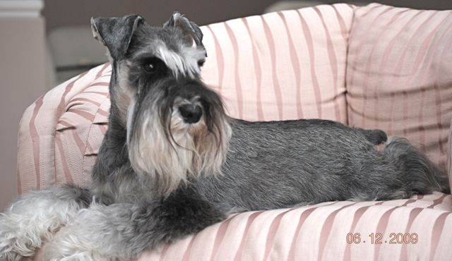Anyone hand stripped a Schnauzers coat?-salt-pepper-rolled-coat.jpg