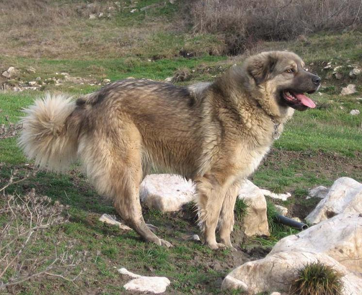 What is the most intimidating dog breed?-sarplaninac-ii.jpg