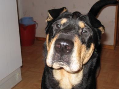 Need A Breed Id Shar Pei Rottweiler 0b81aee238c5235 Jpg