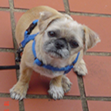 What is the Average weight for a Chinese Pug?-sheridan2.jpg
