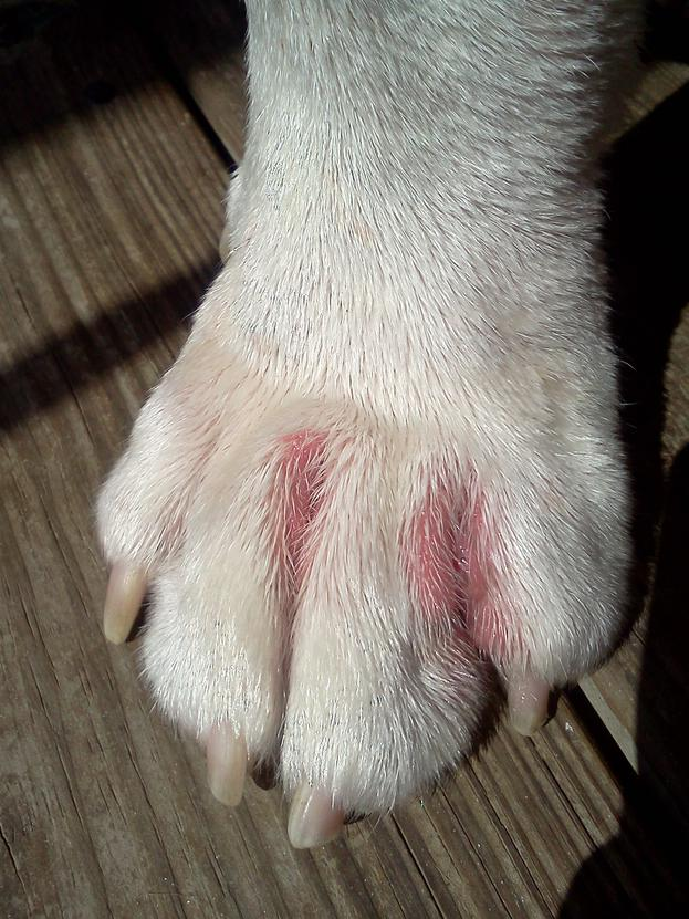 Dog Paw Red And Irritated With Allergy - Rainpow.Com