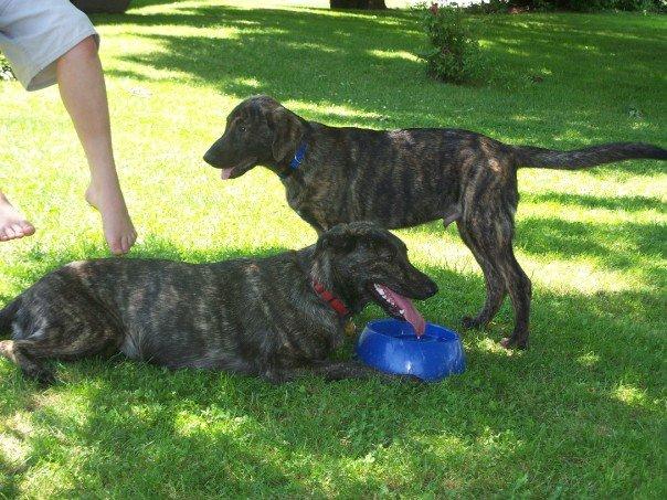Brindle Catahoula Dogs Pictures | animalgals