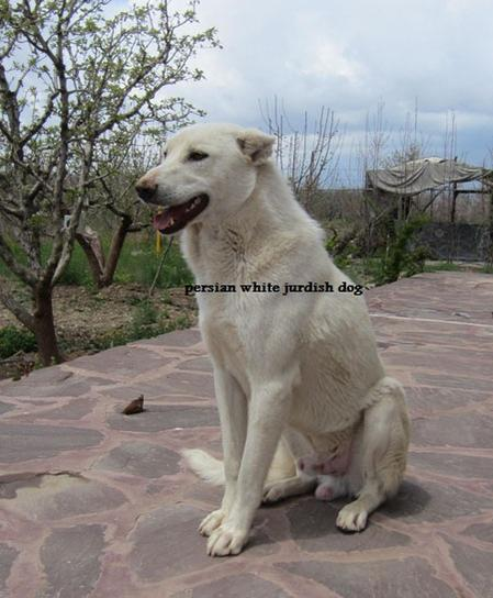persian white kurdish dog-teimur.jpg