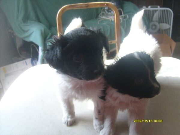 When do papillon puppy ears start standing up?-tiny-dancer.jpg