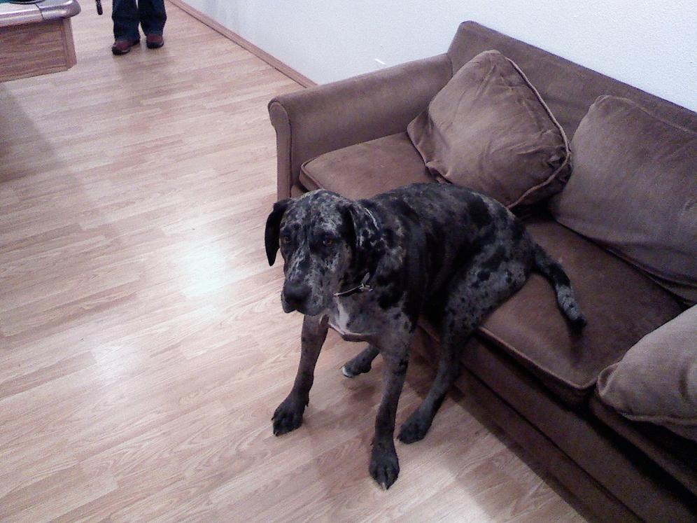 Breed question. Great Dane/Catahoula Leopard Dog Mix. Pictures!-ts-phone-138.jpg