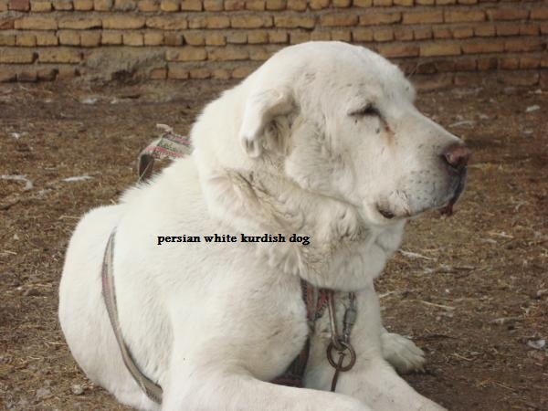 persian white kurdish dog-user2034_pic1247_1324924226.jpg