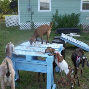 Our herd : Izzy, Gidget, Spooky, Jethro, and Java Bean.