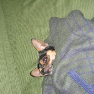 This is Paco the Chihuahua ready for bed. He is my friends, brother's dog! He is a cutie with a temper but we love him!