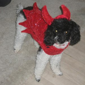 This is Dallas, she is my mom's dog and is 2 years old. She is a Parti Toy Poodle. She was dressed up for Halloween and is a little devil!