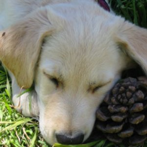 Hard work, chewing a pine cone.  Must sleep now