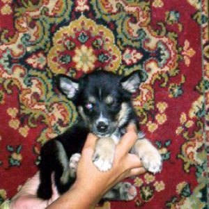 the wolf hybrid puppy im getting friday