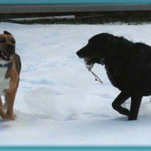 Link and Coal playing in the snow... this was the first and only time Coal got to play with he dummie I bought in Salmon Arm... it was the last of it'