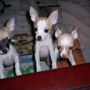 My Little Runts! Gracie on the left, Twinkie in the middle, and Daisy on the right, when they were younger!