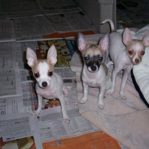 My little runts! Twinkie on the left, Gracie on the right, and Daisy on the left, when they were younger!