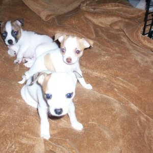 These are my babies, Zeus in the front, Jasmine in the middle, and Lucky in the back, when they were younger!