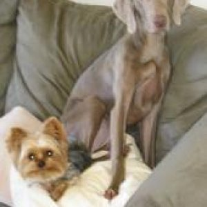 Elsie the Weimaraner and Riley the Yorkie