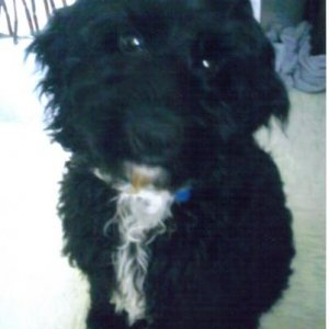 Thomas is the baby. He's an 18month cockerpoo that we inherited from my mother who had him a week before she decided she didnt want a puppy! He came t