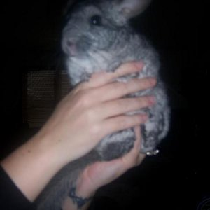 Orbit the cantankerous Chinchilla