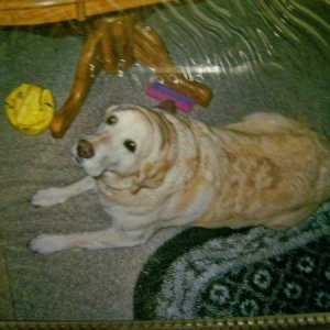 Winnie, My Labrador Retriever that is now just turned 11 years old. She lives with my uncle.