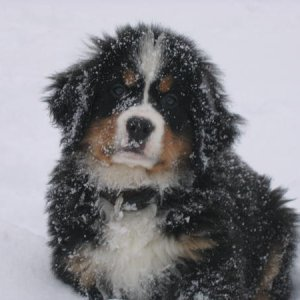 Cartman loving the snow as a puppy