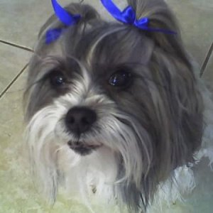 Girly (nickname) Shi-Tzu - This mommy had several litters in her prime. Now she enjoys sleeping, walking, and treats.