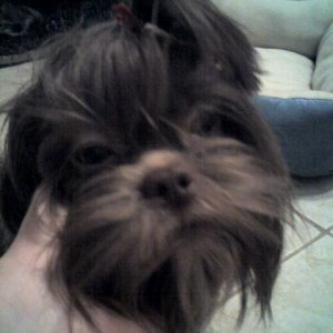 Little Guy (nickname) Lhasa Apso - A puppy mill rescue loves to play and play and play.