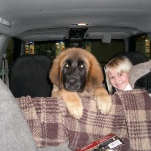 We brought our Leonberger Bailey home on November 8, 2008. He was shy of four months old. The cute kid sitting next to him is our granddaughter.