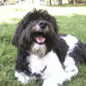 Tip the Havanese