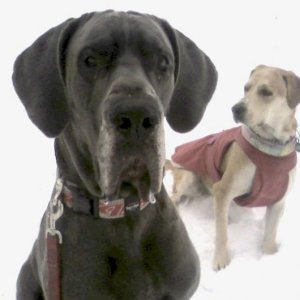 Cohiba (great Dane) and Cracker in the snow.