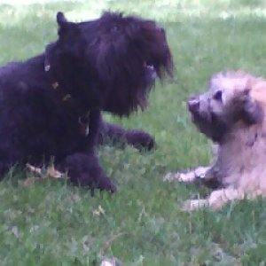 Mowgli (Bouvier) and Louis (Berger de Pyrenees, 5 months)