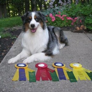 milo with his herding win ribbons two High in Trial ducks!!!!!!! and 3rd and 2nd place. and his two new titles (started sheep and ducks)