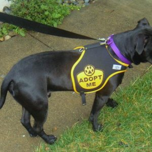 Adopt me vest worn by Issac the Handsome Foster dog