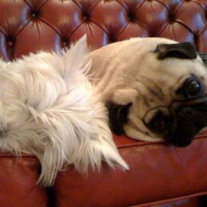 Eadie (westie) and Eric (pug)