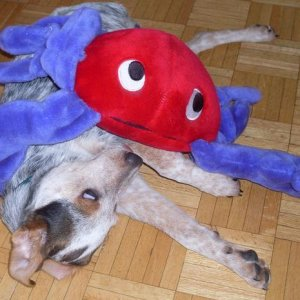 Some places ban owning this breed.  I think the crab is by far the scarier of the two.