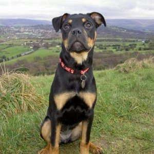 Bella our little Rottweiler Cross