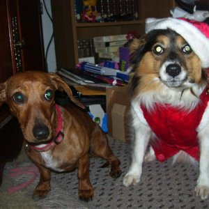 Carmy (a Dachshund we found and took care of for a week) and Treader in his Christmas garb.