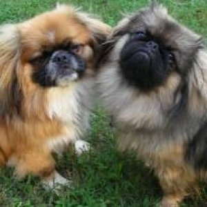 Spike & Sasha (brother & sister - Pekingese)