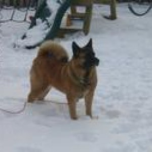 Trinity in the snow in NY. She loved plowing thru the snow with her nose and catching snowballs!
