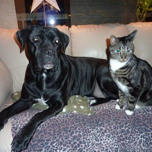 My best friends cane corso Daisy and Atlas, they are buddies!
