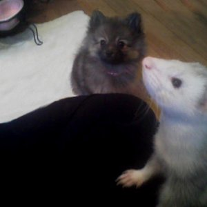 Here is my cute little Pom puppy Chessabell and my ferret Roxas, they are both asking for a treat XD