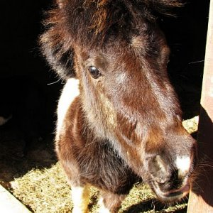 Styx, the Miniature Horse, sporting her Rock Star hairstyle.