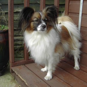 23lbs of Papillon called Reuben