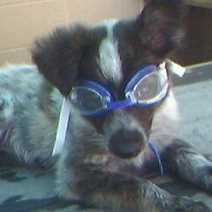 Little puppy Cookie with goggles!