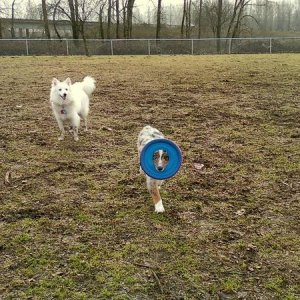 At dog park...Skyler and the odd way he carries his frisbee.