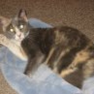 Patches: 4-year-old tailless Dilute Calico
