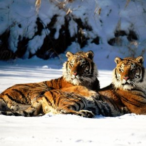 Lounging,%20Siberian%20Tiger%20Pair