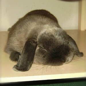 5 year holland lop Ronin